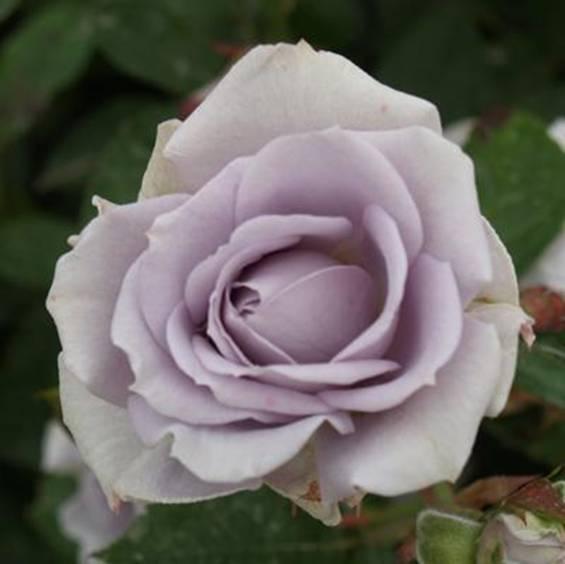 roser til salg