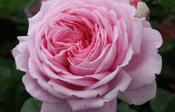 Lovely Parfuma